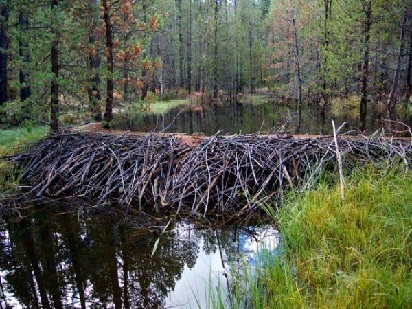 Beavers in California