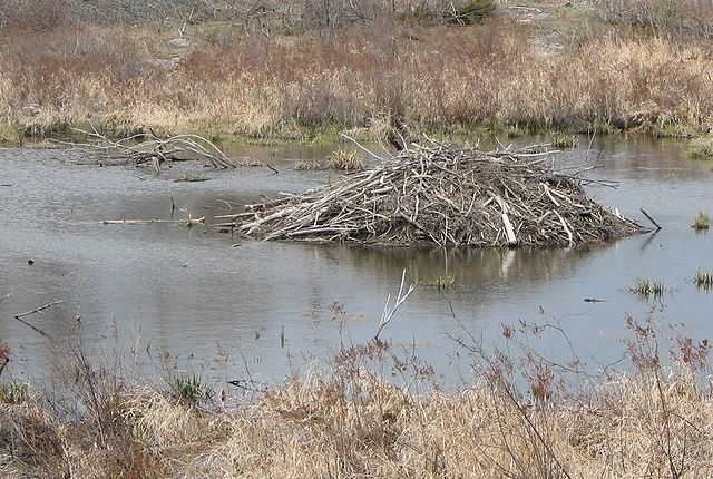 Restoring Beaver to Restore Rivers